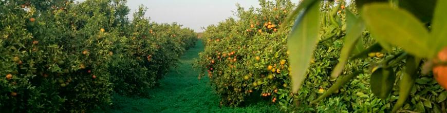 Regala naranjas valencianas