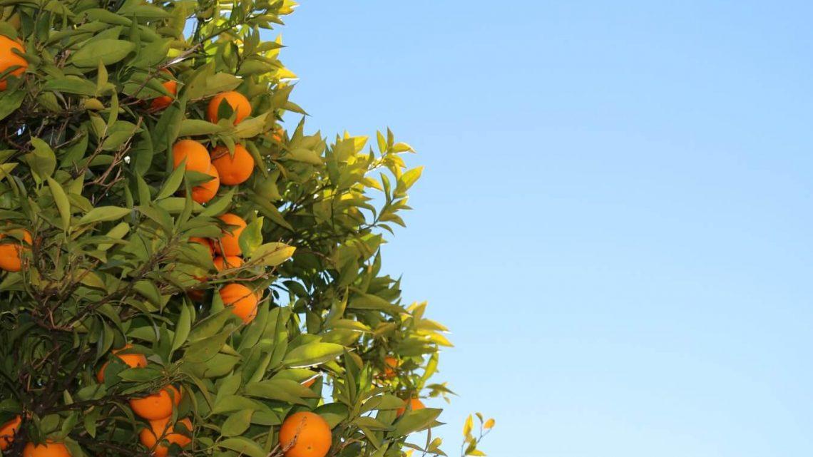 ¿Cuándo es la temporada de naranjas?