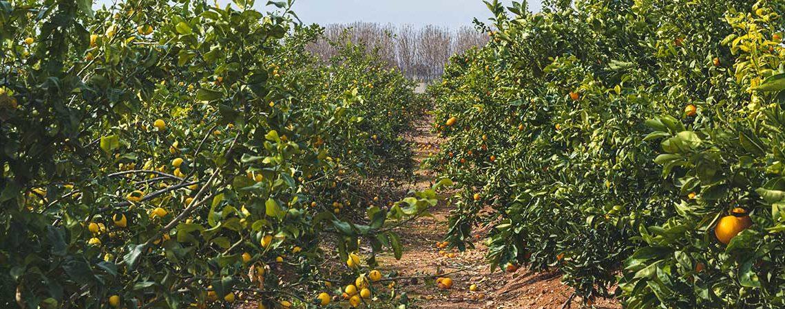 ¿Cuántos tipos de naranjas existen?