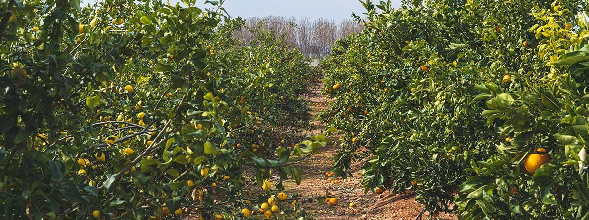 Campos de distintas Variedades de Naranjas