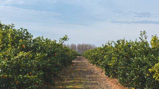 ¿Cuándo cosechar y plantar las naranjas?