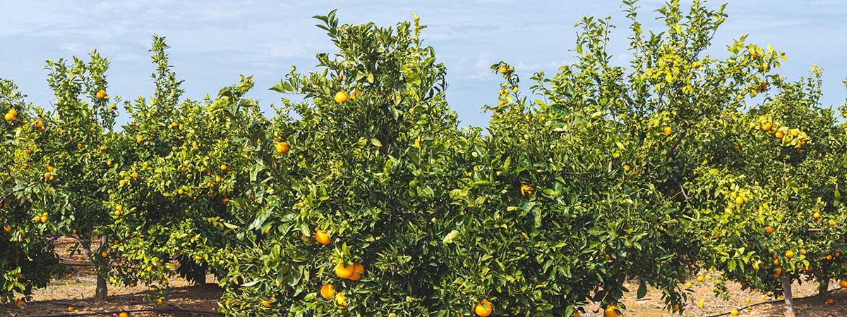 Recolección en Temporada de Naranjas Sanguinas